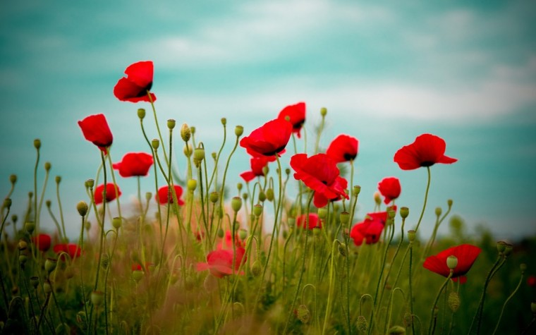 anzac-day-poppies-light